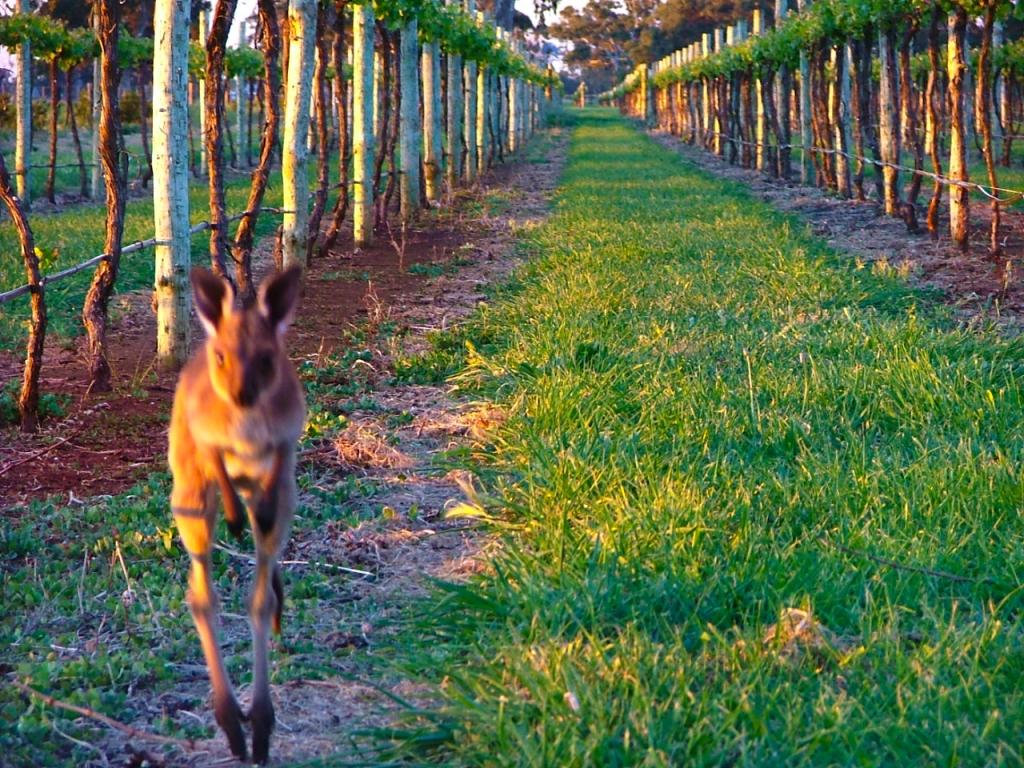 coonawarra_kangaroo_2015-1-of-14